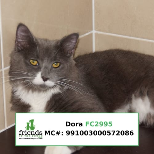 Dora - Domestic Medium Hair Cat