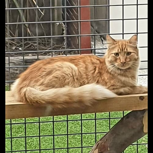 2179 - Bushy - Domestic Medium Hair Cat