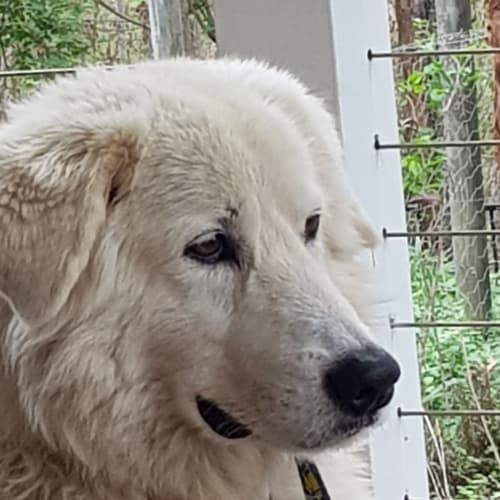 Kobe - Maremma Sheepdog