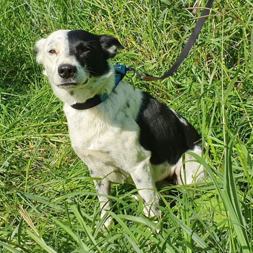 Daisy - Kelpie x Border Collie Dog