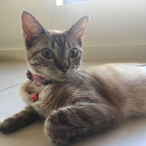 Flame - Domestic Medium Hair Cat