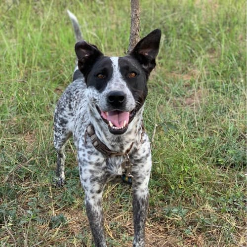 Xena - Australian Cattle Dog
