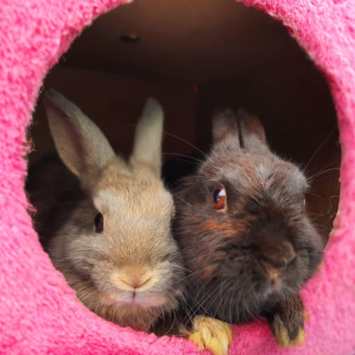 Skyla and Wentworth - Netherland Dwarf Rabbit