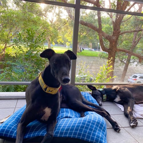Elwood (In Foster) - Greyhound Dog