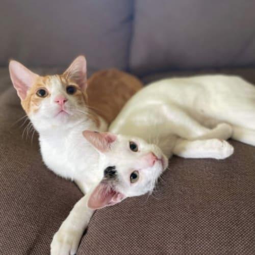 Parker & Py - Domestic Short Hair Cat