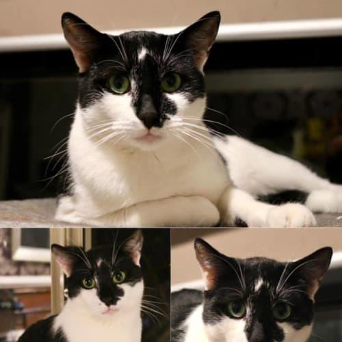 2164 – Hedwig - Domestic Short Hair Cat