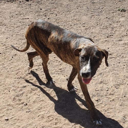 Bruce - Bull Arab Dog