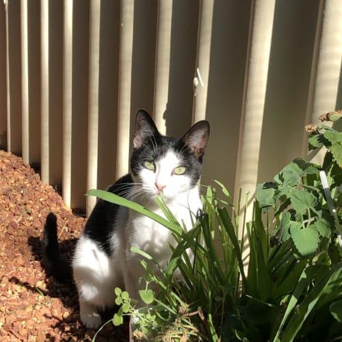 129 - Juliet - Domestic Short Hair Cat