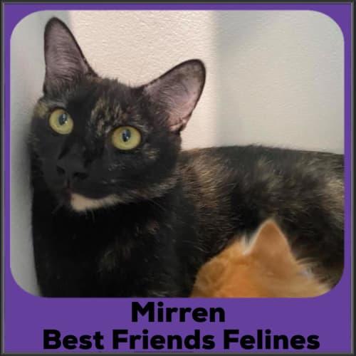 Mirren  - Domestic Short Hair Cat
