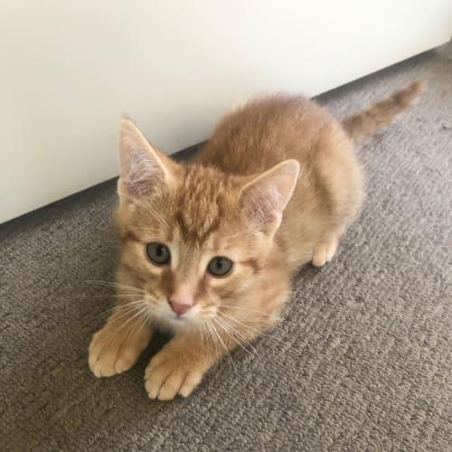 Jake & Charles - Domestic Short Hair Cat