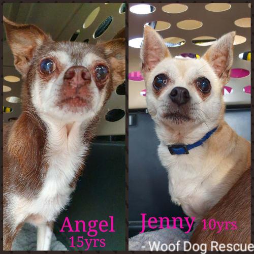 Angel and Jenny  - Chihuahua Dog