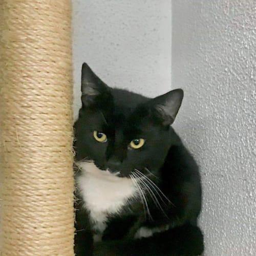 2920 - Chief - Domestic Short Hair Cat