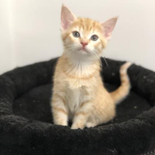 Sophia - Domestic Short Hair Cat