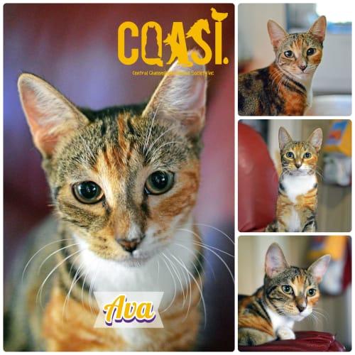 Ava - Domestic Short Hair Cat