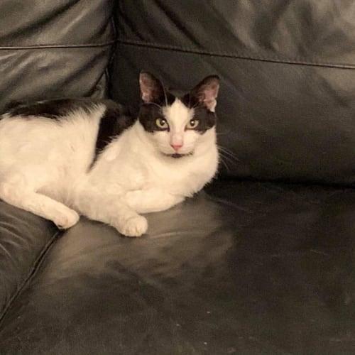 1532 - Huey - Domestic Short Hair Cat