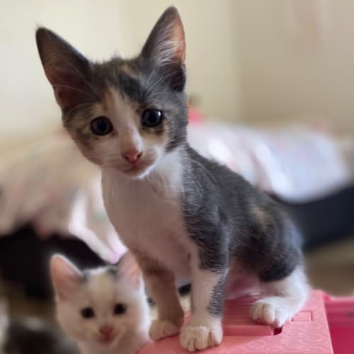 Ursula  - Domestic Short Hair Cat