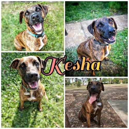 Kesha - Great Dane x Staffy Dog