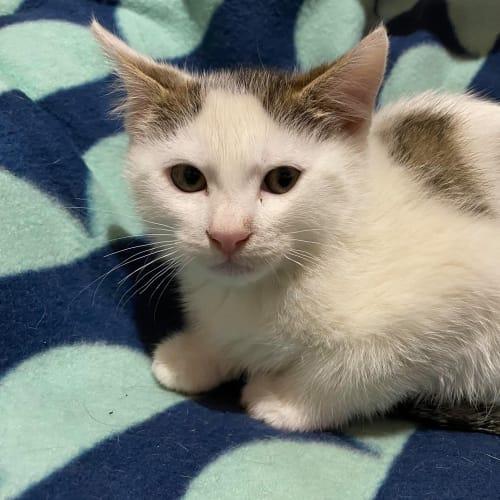 Nimm - Domestic Short Hair Cat