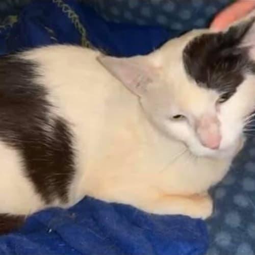 Sasha - Domestic Short Hair Cat