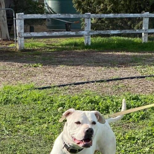 Lizzie - American Bulldog