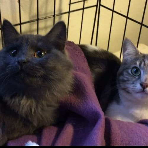 Mazo & Nixie (Located in Frankston) - Domestic Medium Hair Cat