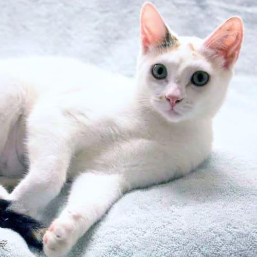 Tahnee - Domestic Short Hair Cat