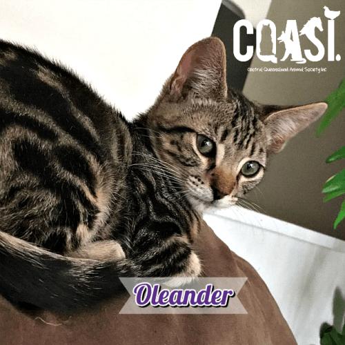 Oleander - Domestic Short Hair Cat