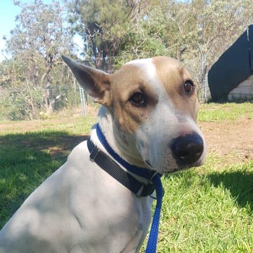 Giselle - Bull Terrier Dog