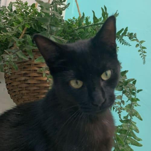 Stella - Domestic Short Hair Cat