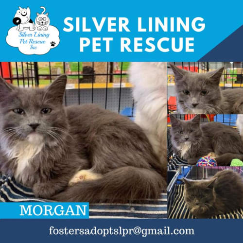 Morgan - Persian Cat