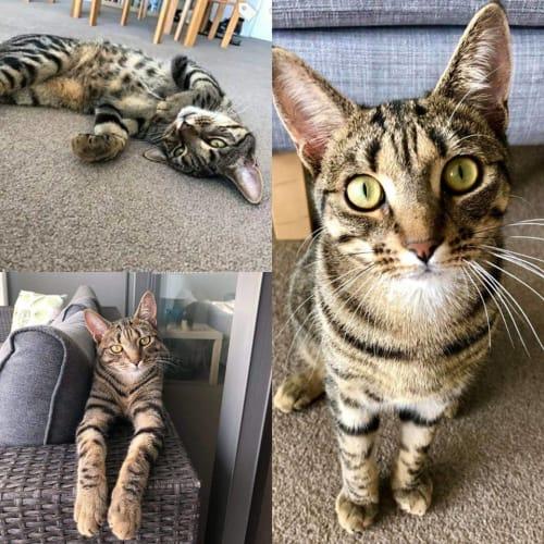 1148 - Pablo - Domestic Short Hair Cat
