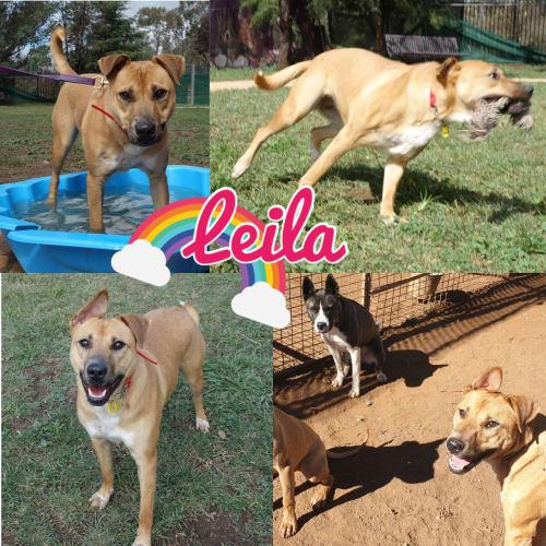 Leila - Kelpie x Staffy Dog