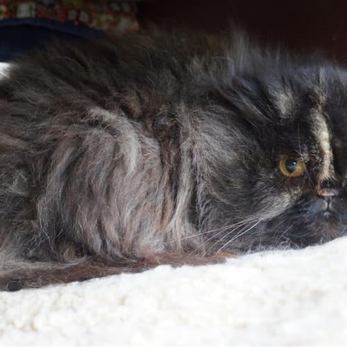 Beryl - Persian Cat