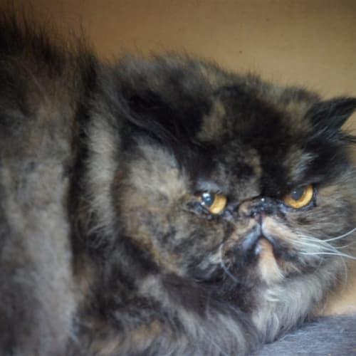 Rubiks - Persian Cat