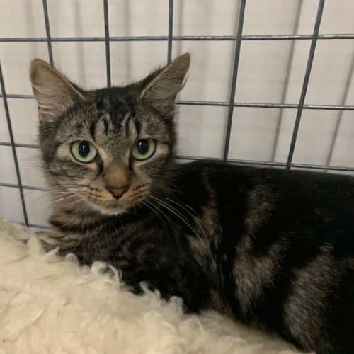 Piper - Domestic Medium Hair Cat