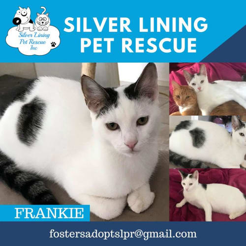 Frankie - Domestic Short Hair Cat