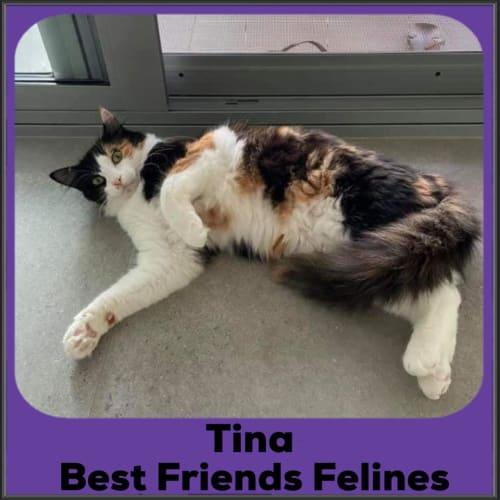 Tina - Domestic Medium Hair Cat