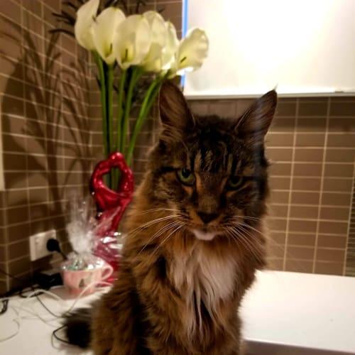 2166 – Tic Toc - Domestic Medium Hair Cat