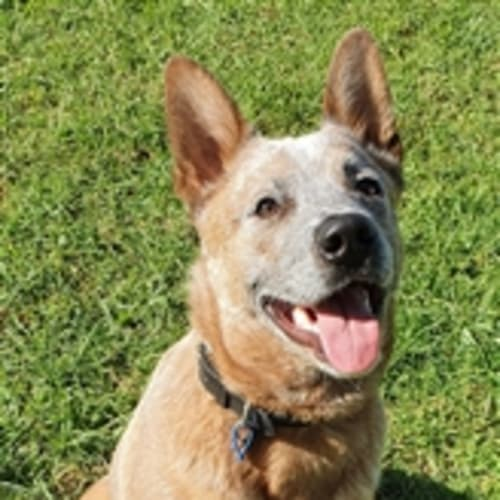 Bobby - Australian Cattle Dog
