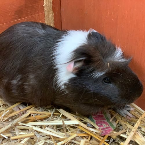 Hewie - Abyssinian Guinea Pig