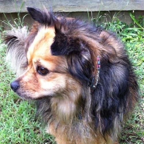 Bella  - Pomeranian x Chihuahua Dog