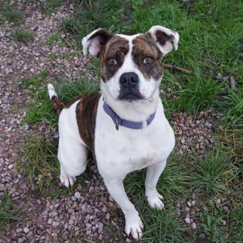 Charlotte - American Bulldog