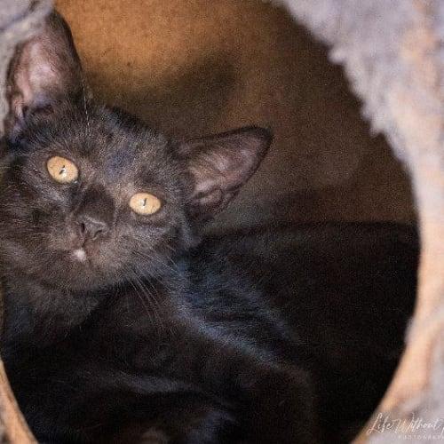 Risha - Domestic Short Hair Cat