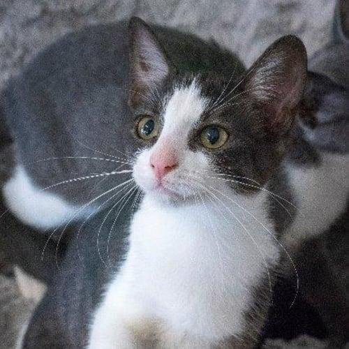 Rhianna - Domestic Short Hair Cat
