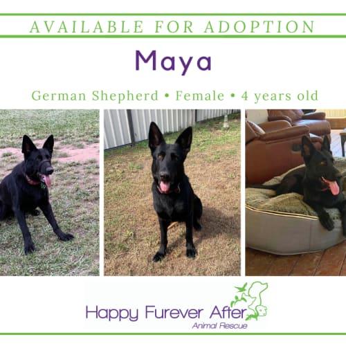 Maya - German Shepherd Dog