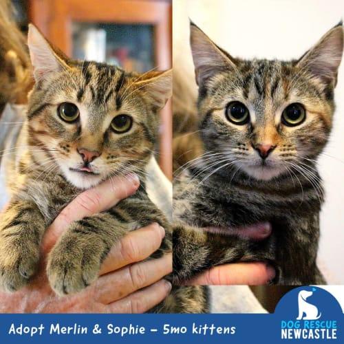 Sophie & Merlin ~ 5 month old kittens - Domestic Short Hair Cat