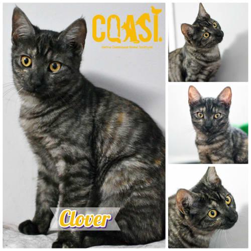 Clover  - Domestic Short Hair Cat