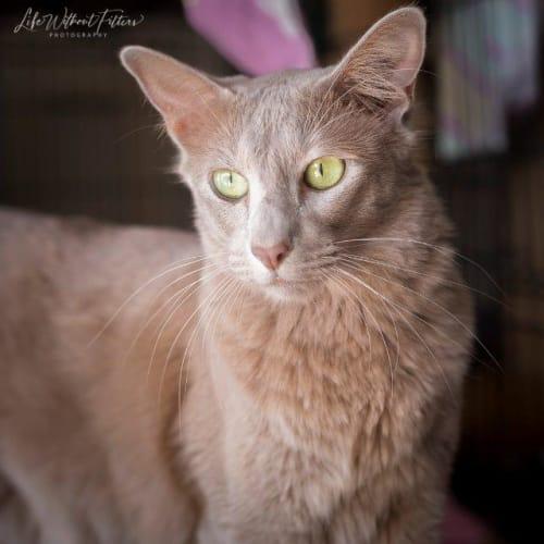 Shavarne - Domestic Short Hair Cat