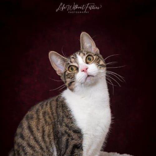 Hudson - Domestic Short Hair Cat