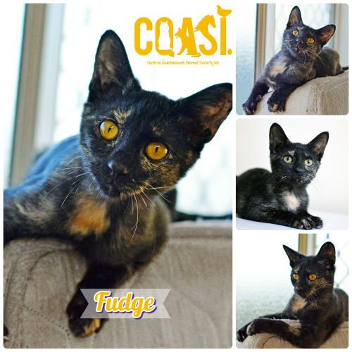Fudge - Domestic Short Hair Cat